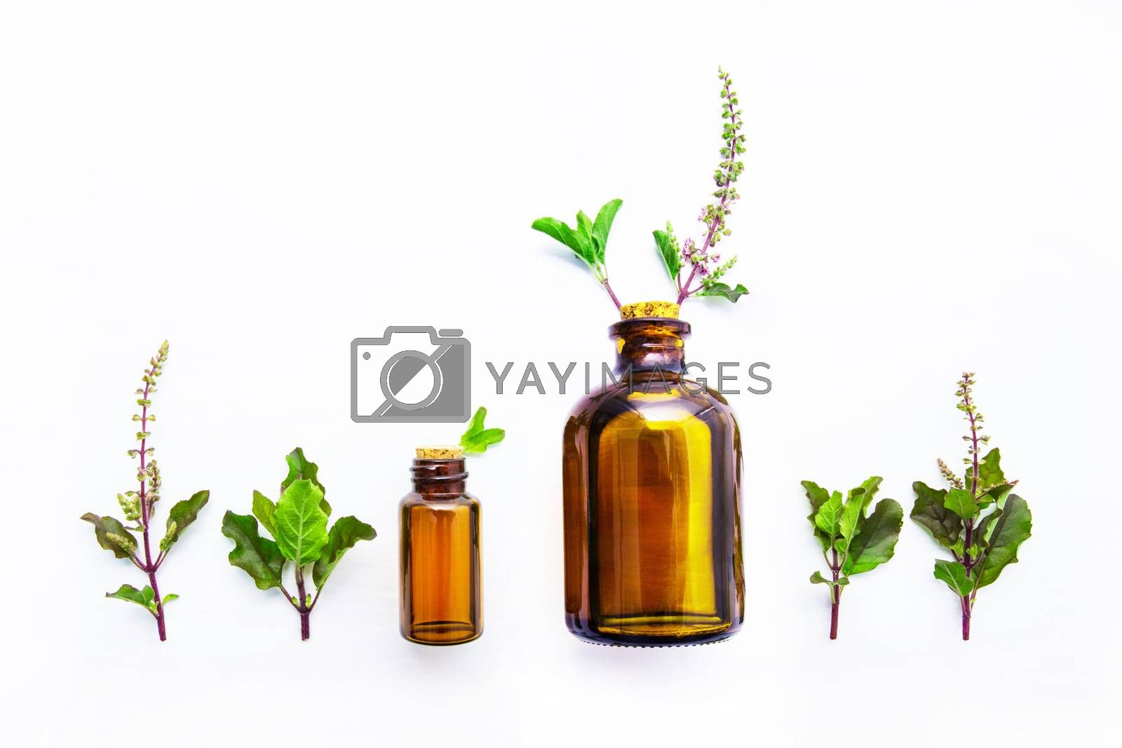 Holy Basil  Essential Oil in a Glass Bottle with Fresh Holy Basi by Bowonpat