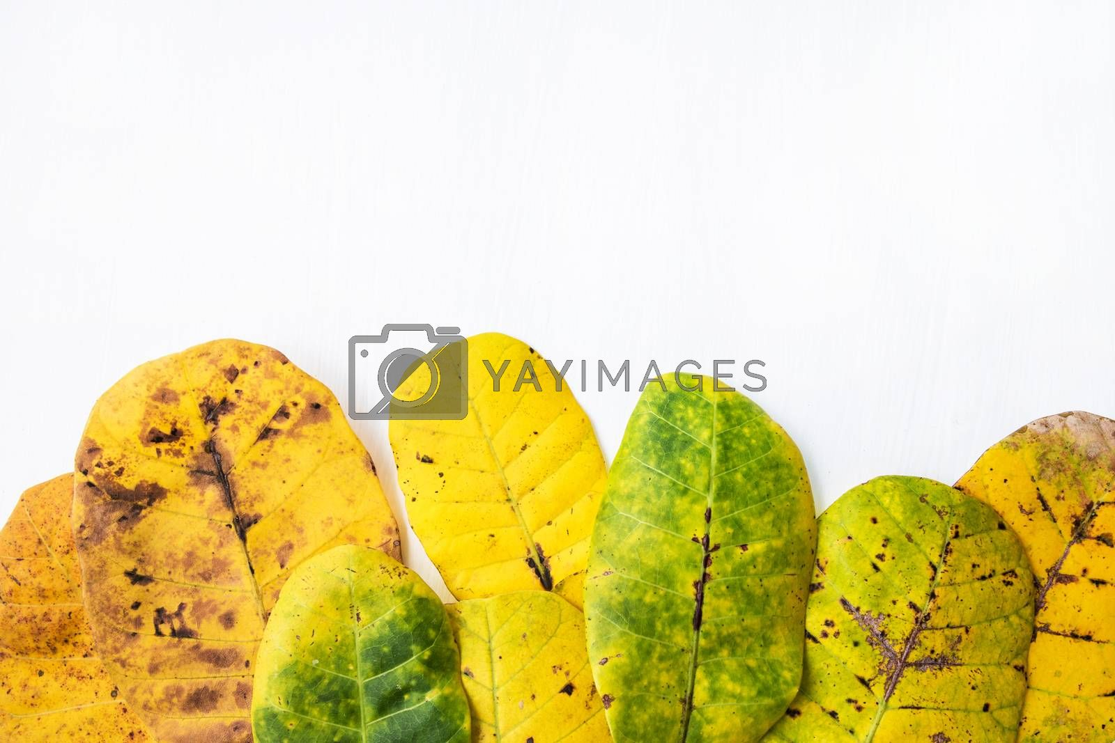 Green and yellow leaves of  Cashew on white background. With cop by Bowonpat