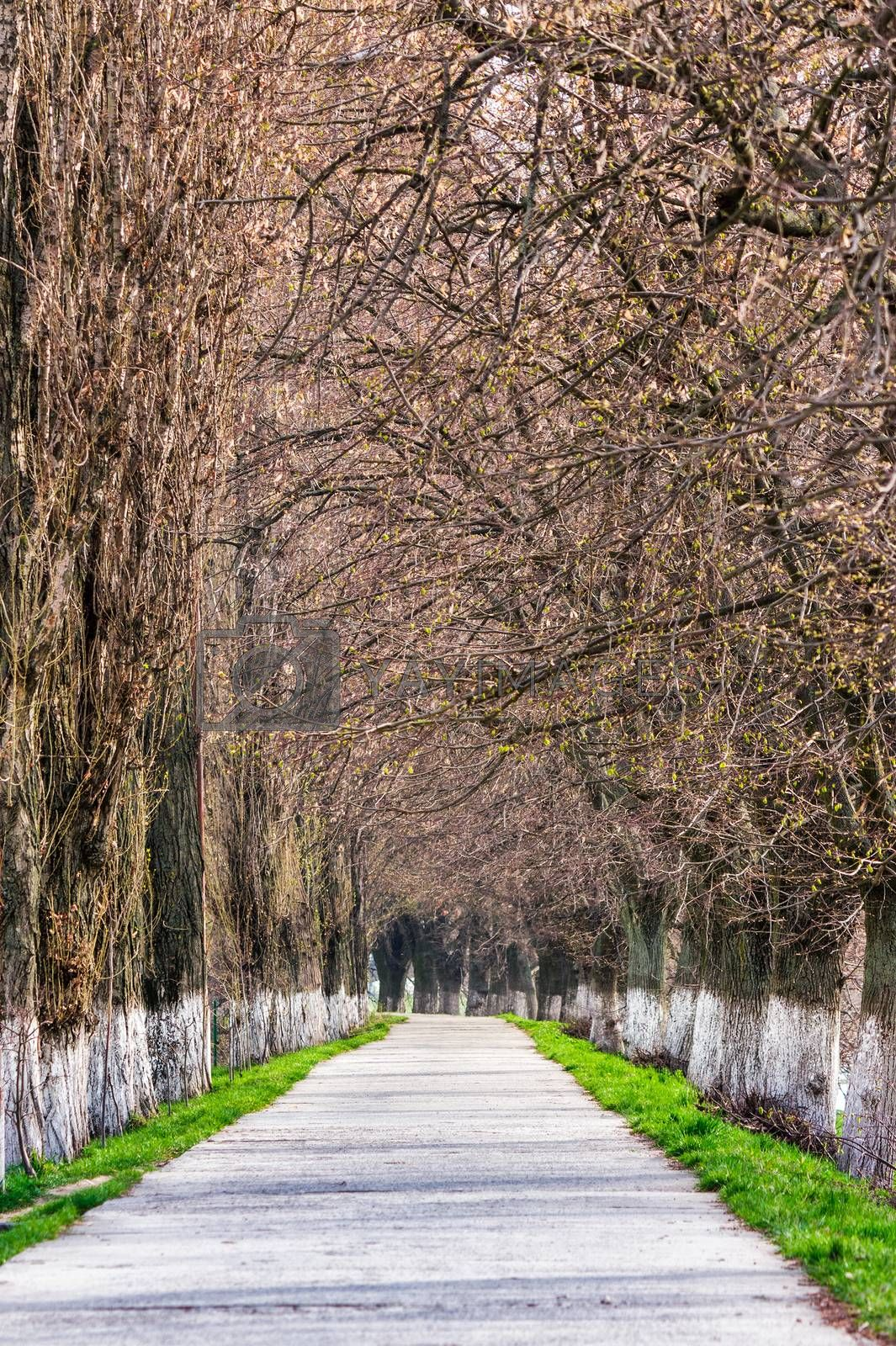 longest european linden alley in springtime by Pellinni