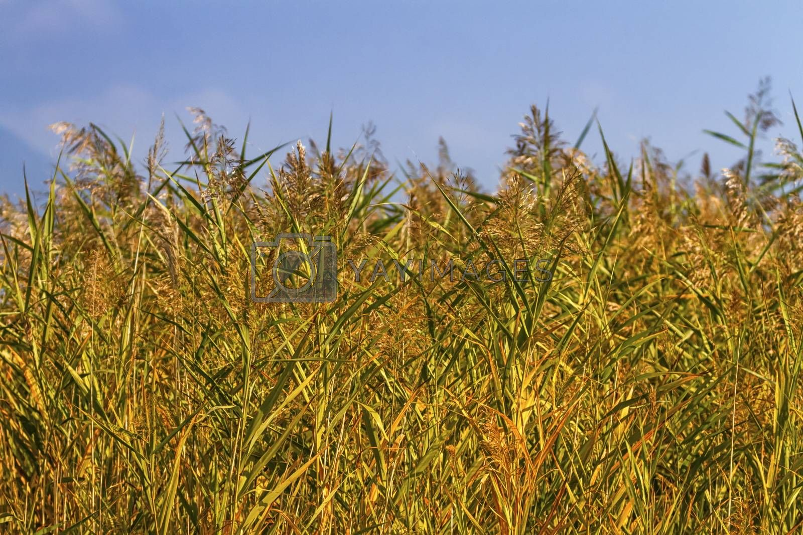 Reeds field background by beautiful blue day