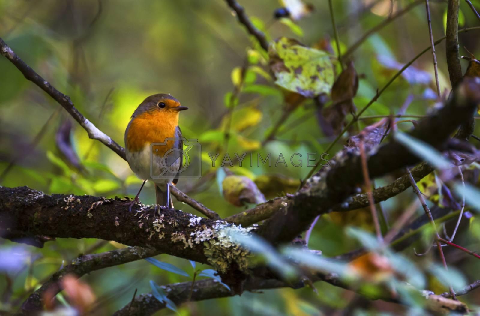 Small european robin, Erithacus rubecula, redbreast on a branch, Geneva, Switzerland