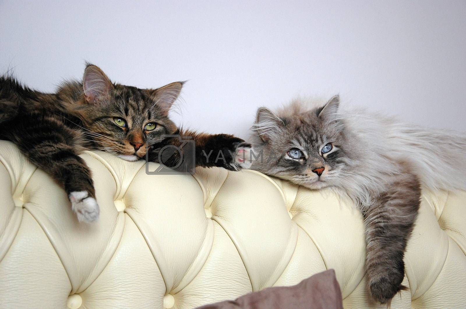 Cats, the lovely a fluffy a pets.