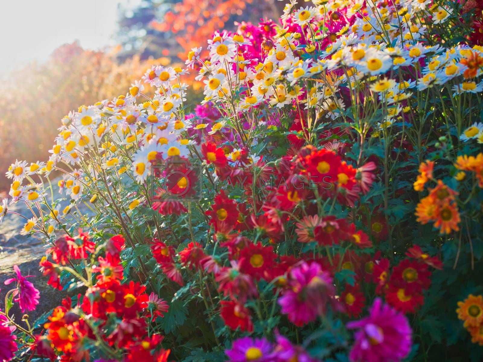 close up of beautiful flowers at the garden of morning calm