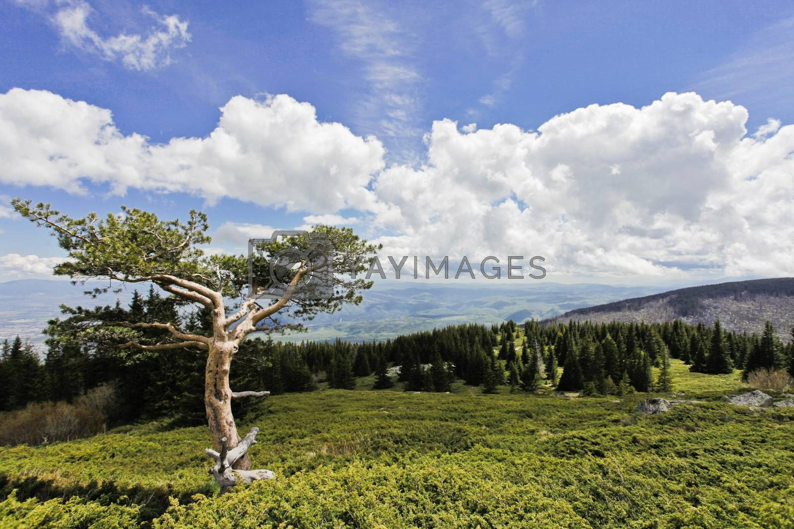 Pine tree in Vitosha mountain, near Sofia, Bulgaria. Background.