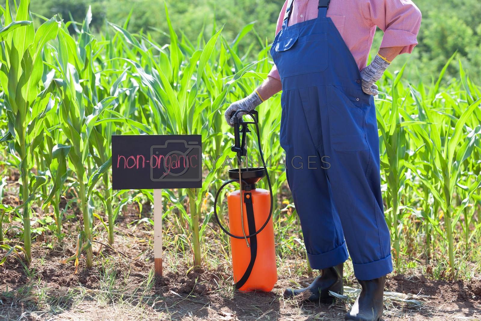 Farmer standing in front of the non-organic maize field