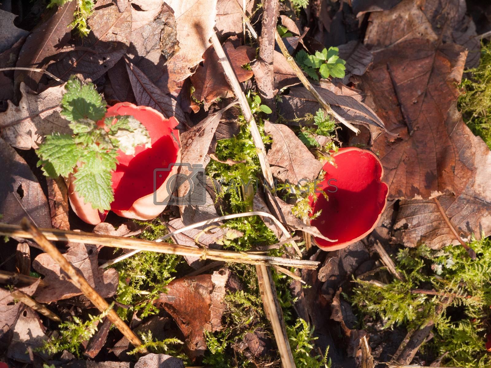 growing large red scarlet elf cups on forest moss damp floor mushrooms; essex; england; uk