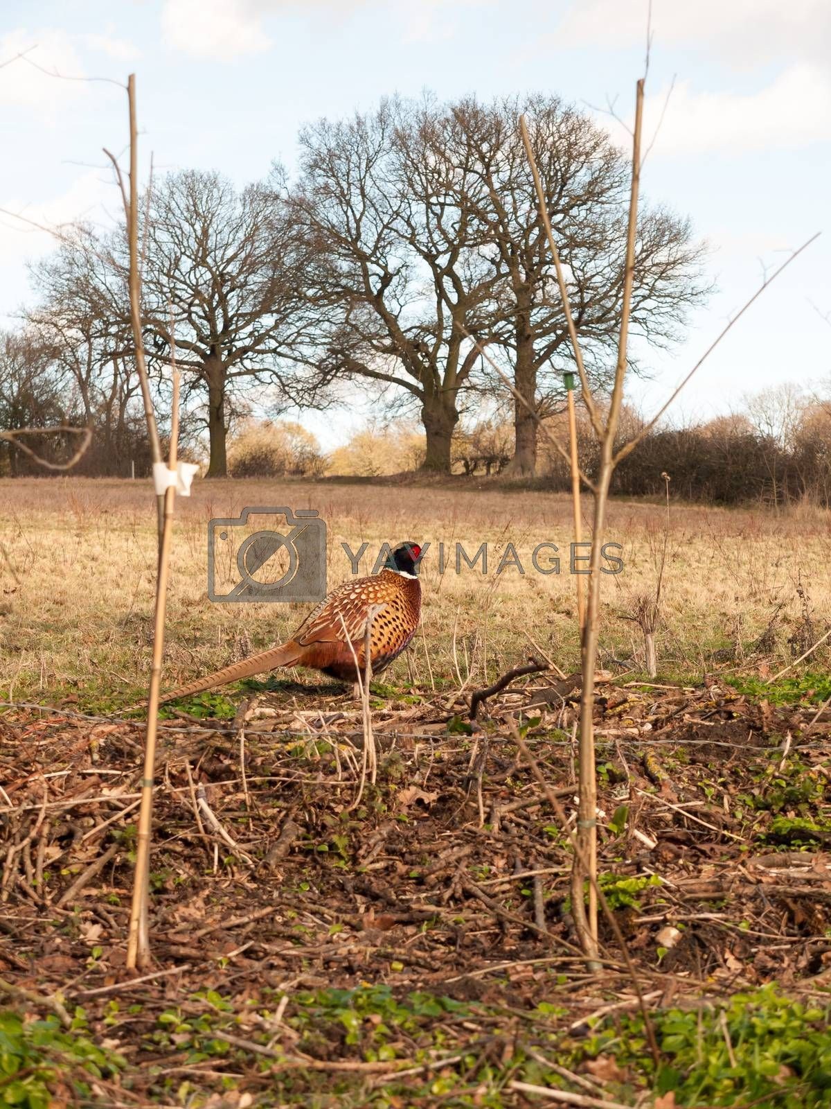 sideways close up view of male pheasant in farm field grazing; essex; england; uk