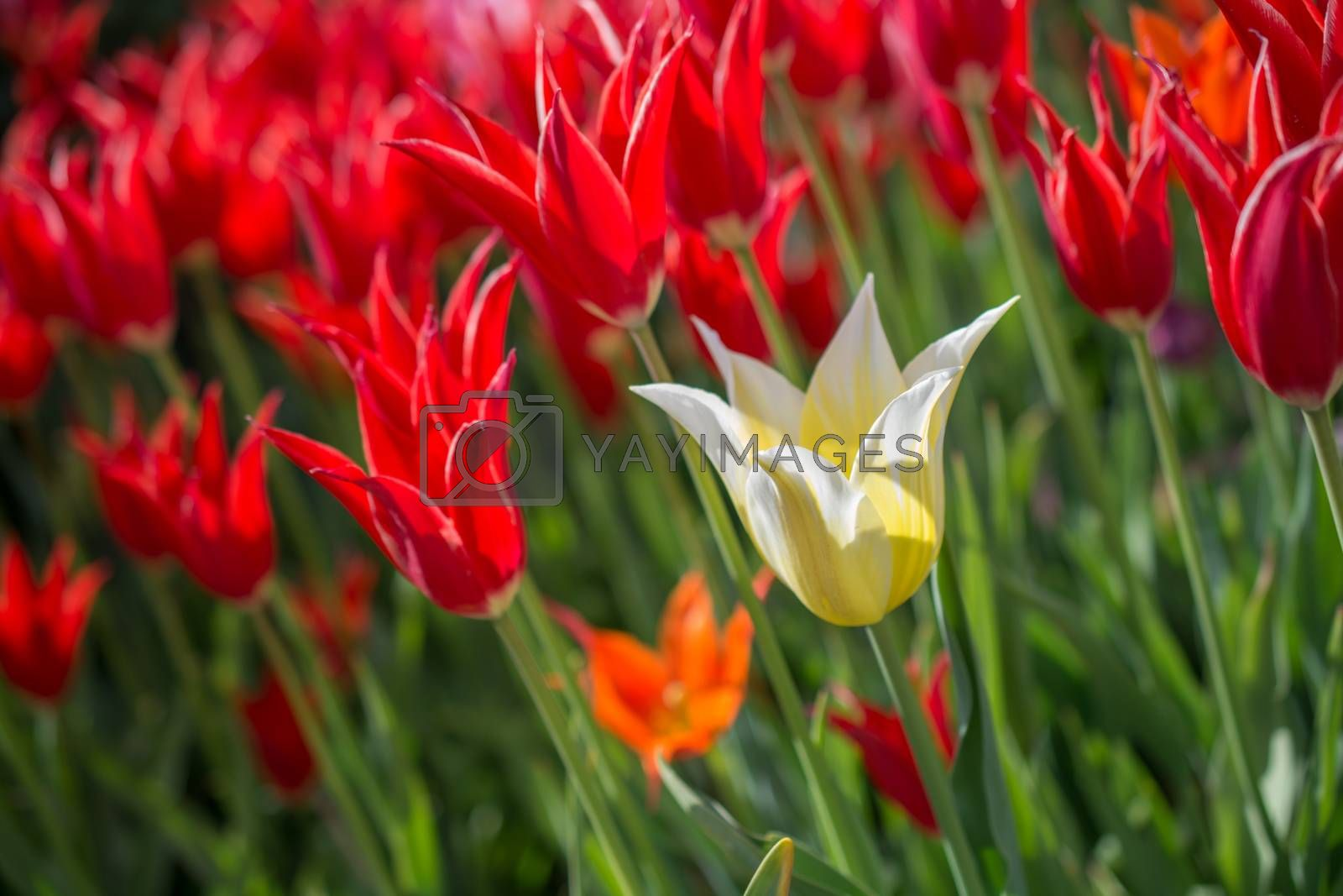 Fresh tulips blooming in the spring season