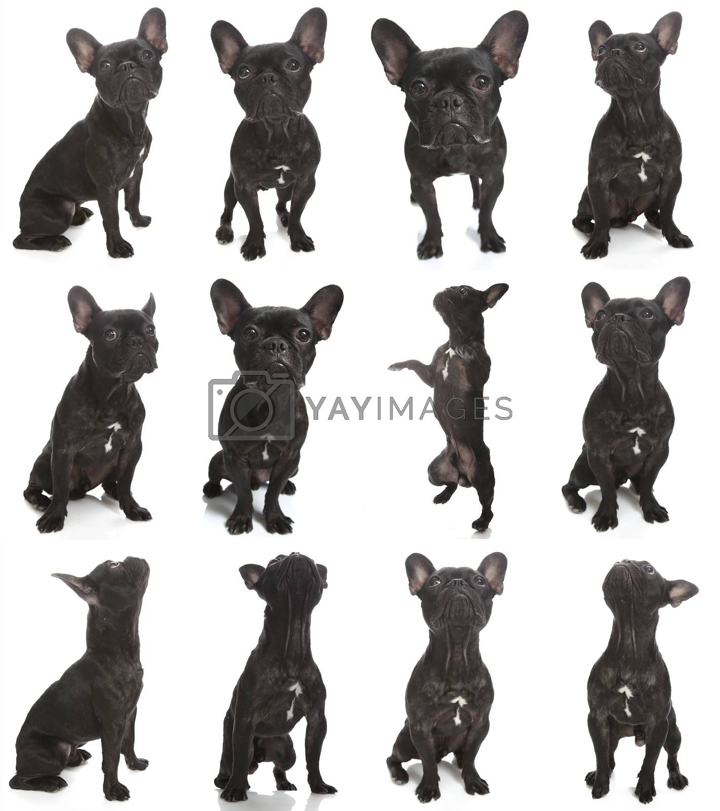 A little black french bulldog, compilation of different poses on white.