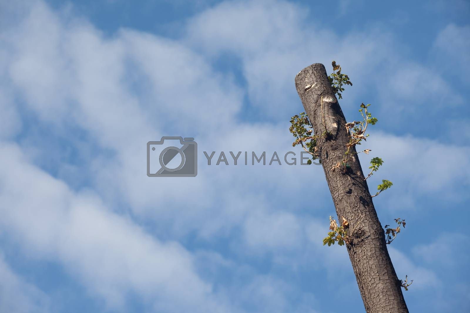 Cut of tree over blue sky with some light clouds.