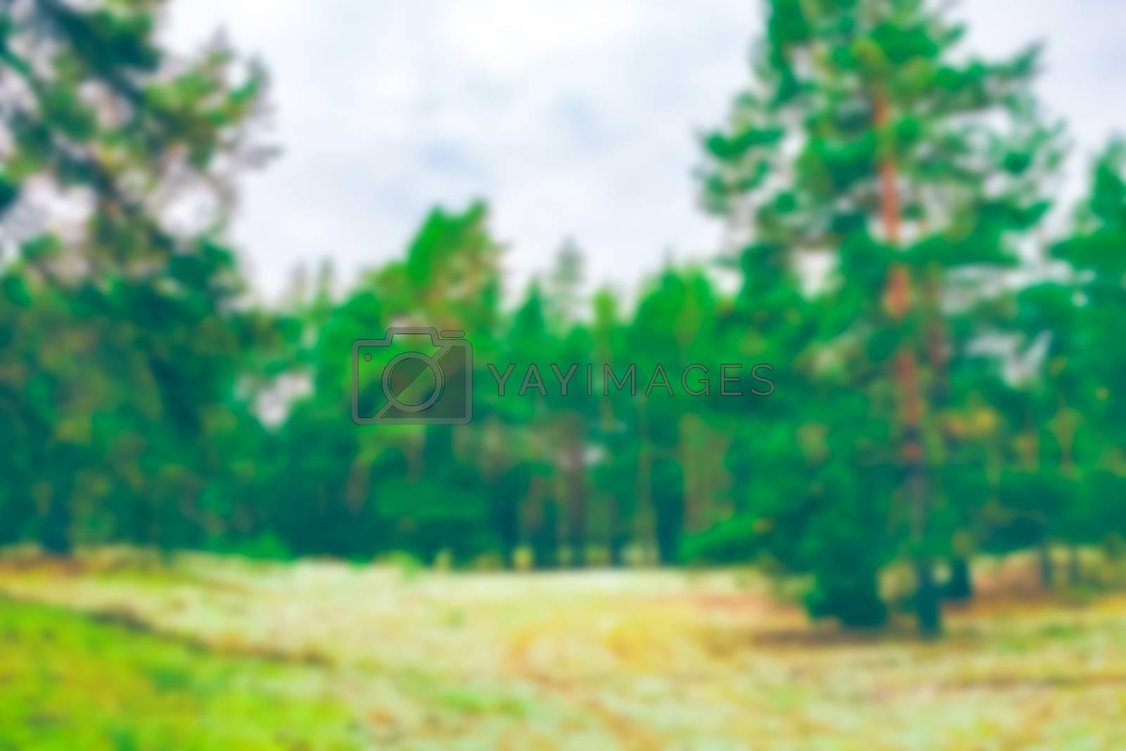 Green pine forest - soft lens bokeh image. Defocused background