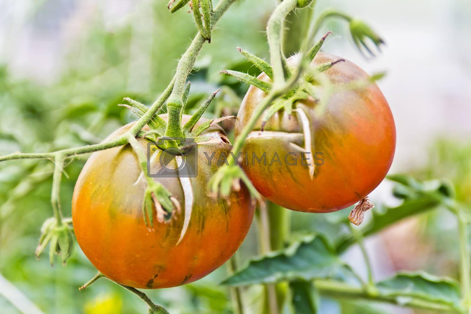 Photo of fresh green tomatos in the garden