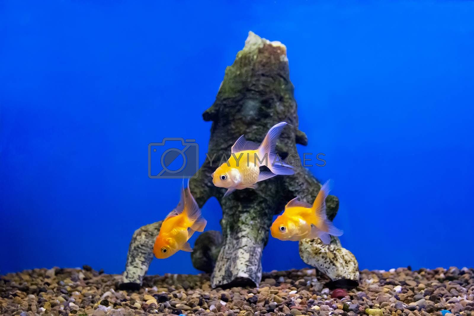 Three of yellow parrot cichlid fishes on blue background