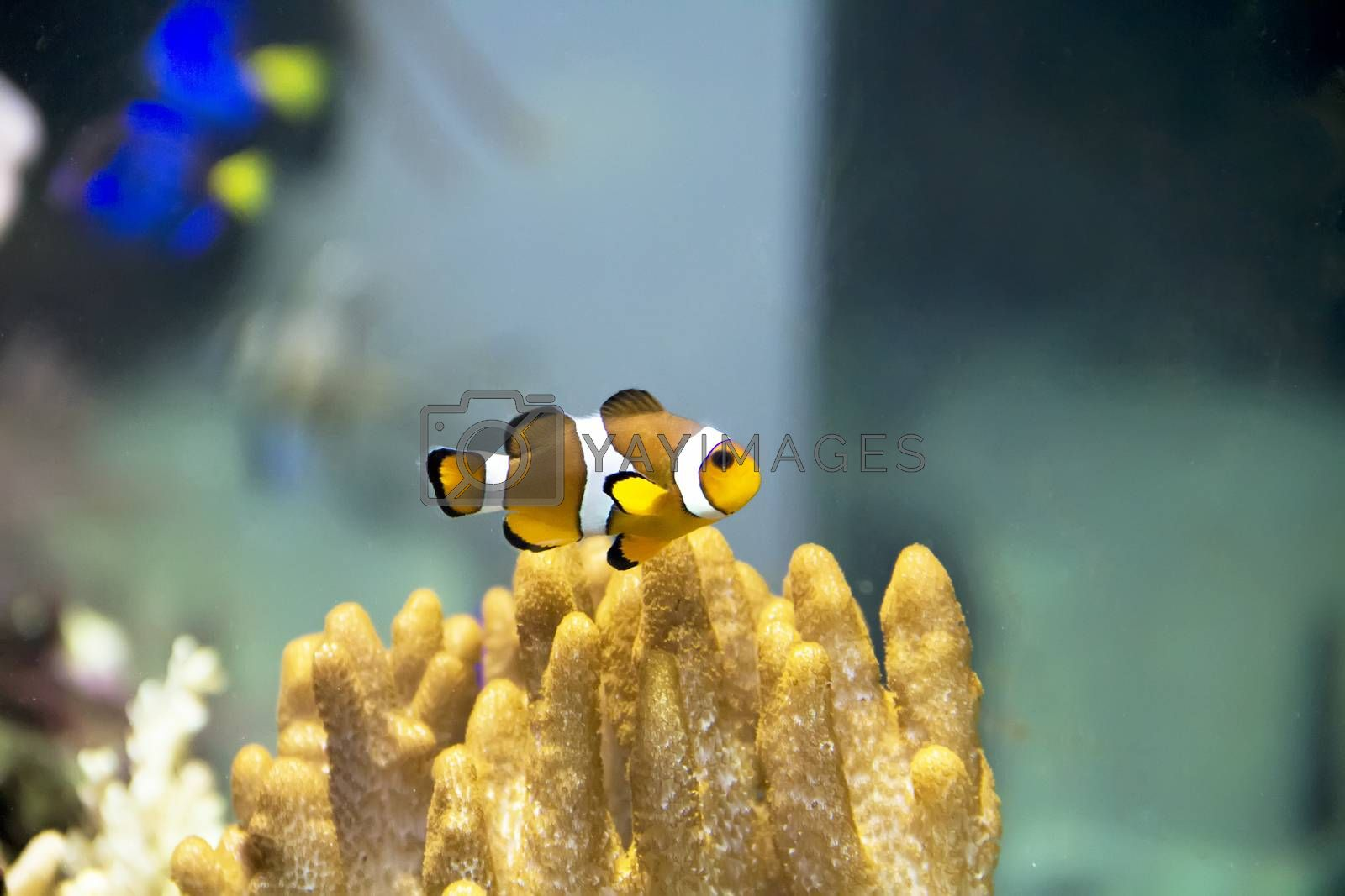 One small orange clown fish swimming on reef background