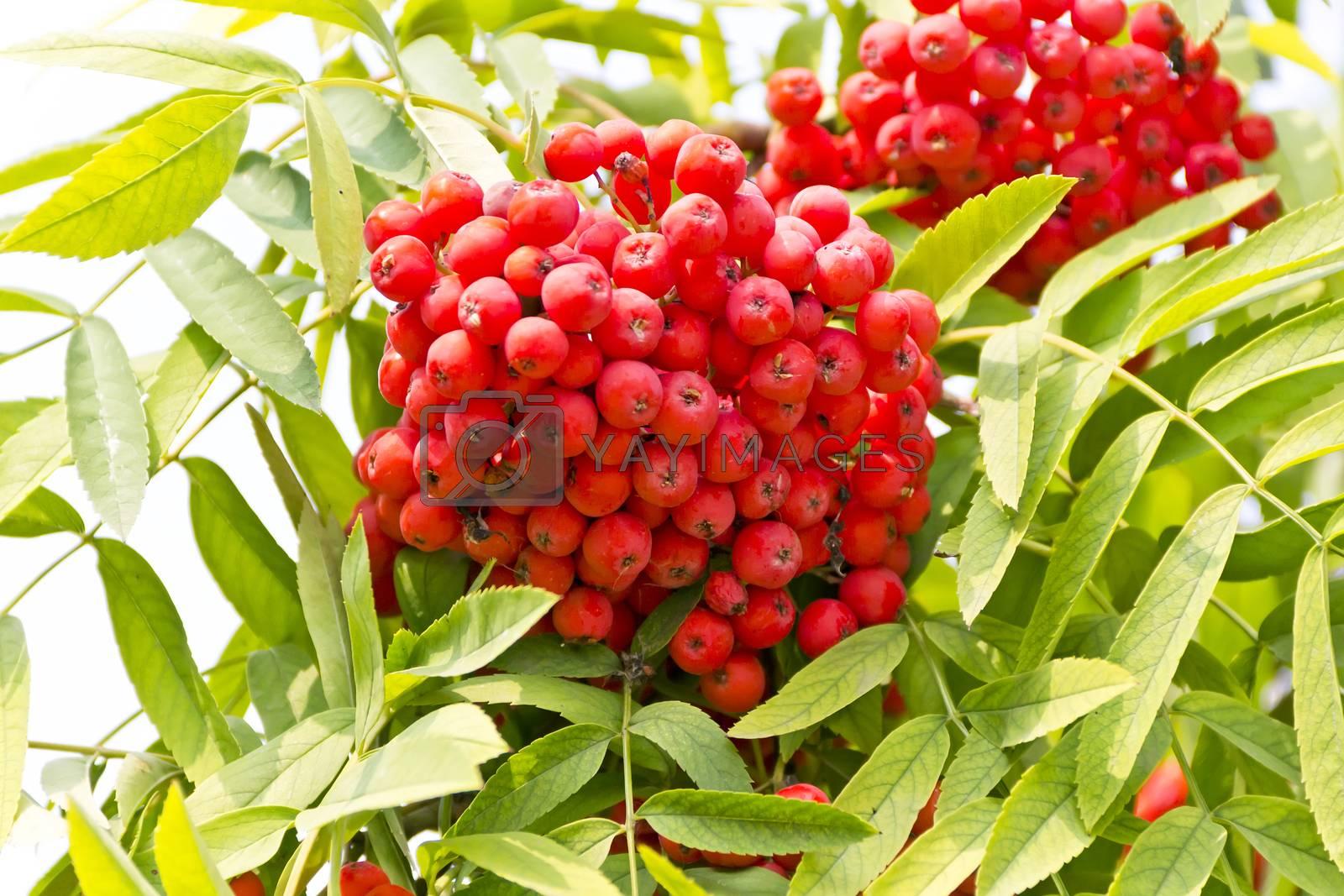 Red ripe rowanberry branch in sunny light