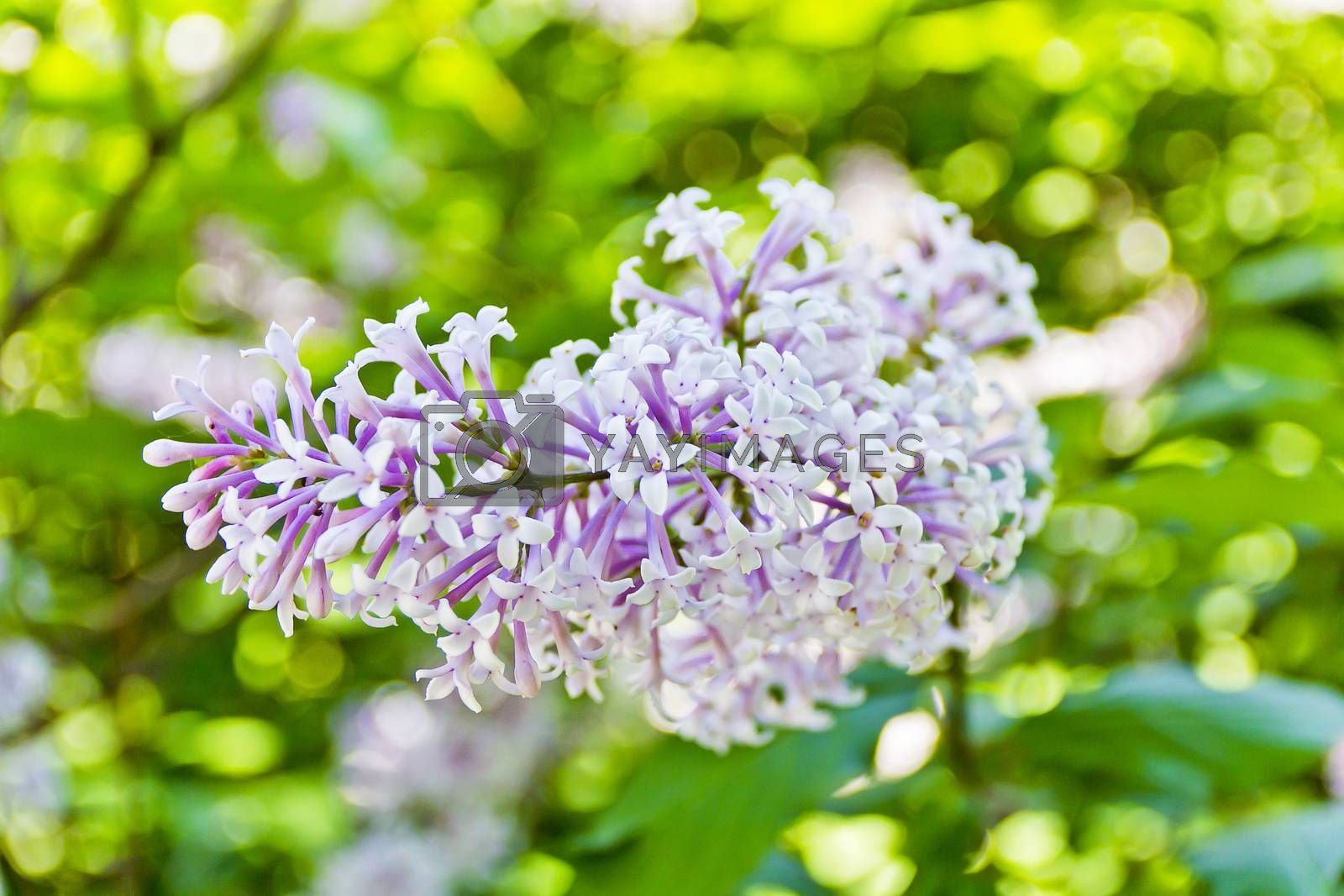 One inflorescence pale purple lilac on green background