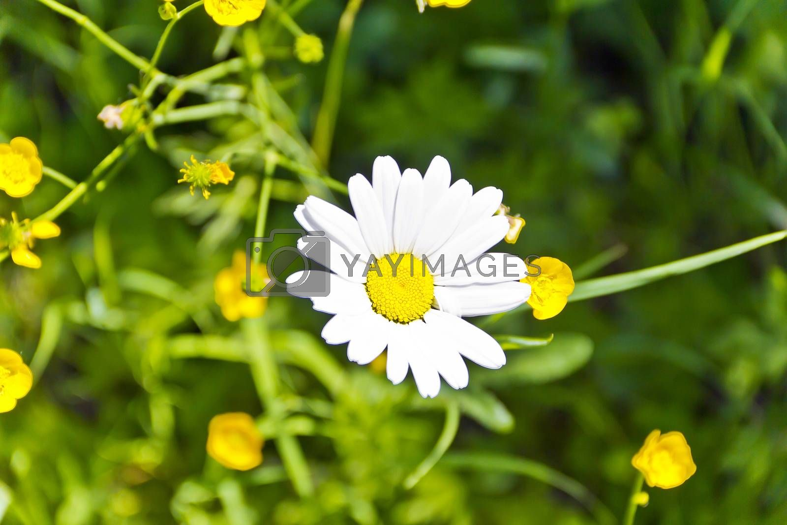Summer meadow in sun light with white chamomile