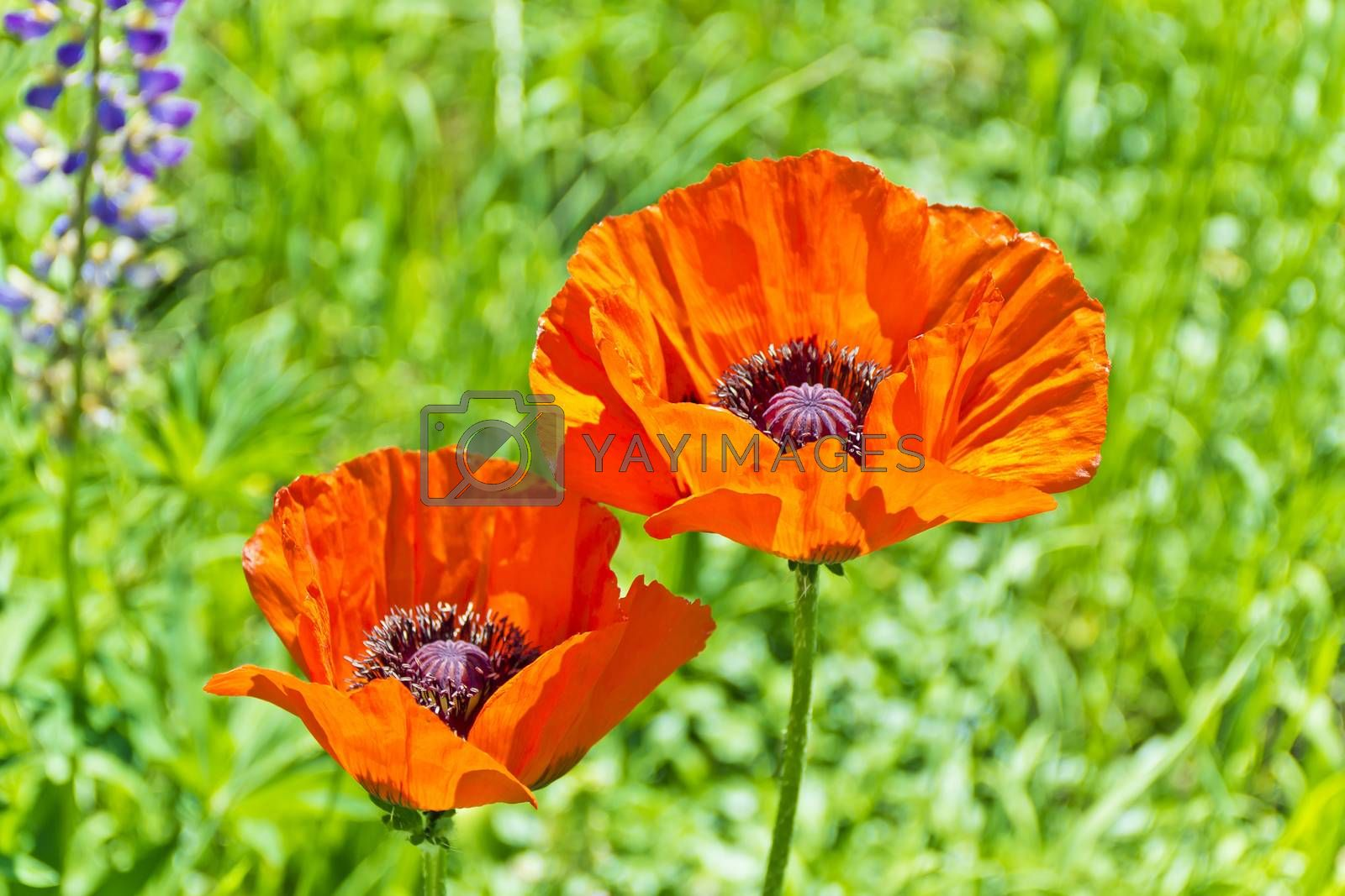 Two red poppys on green background in sun light