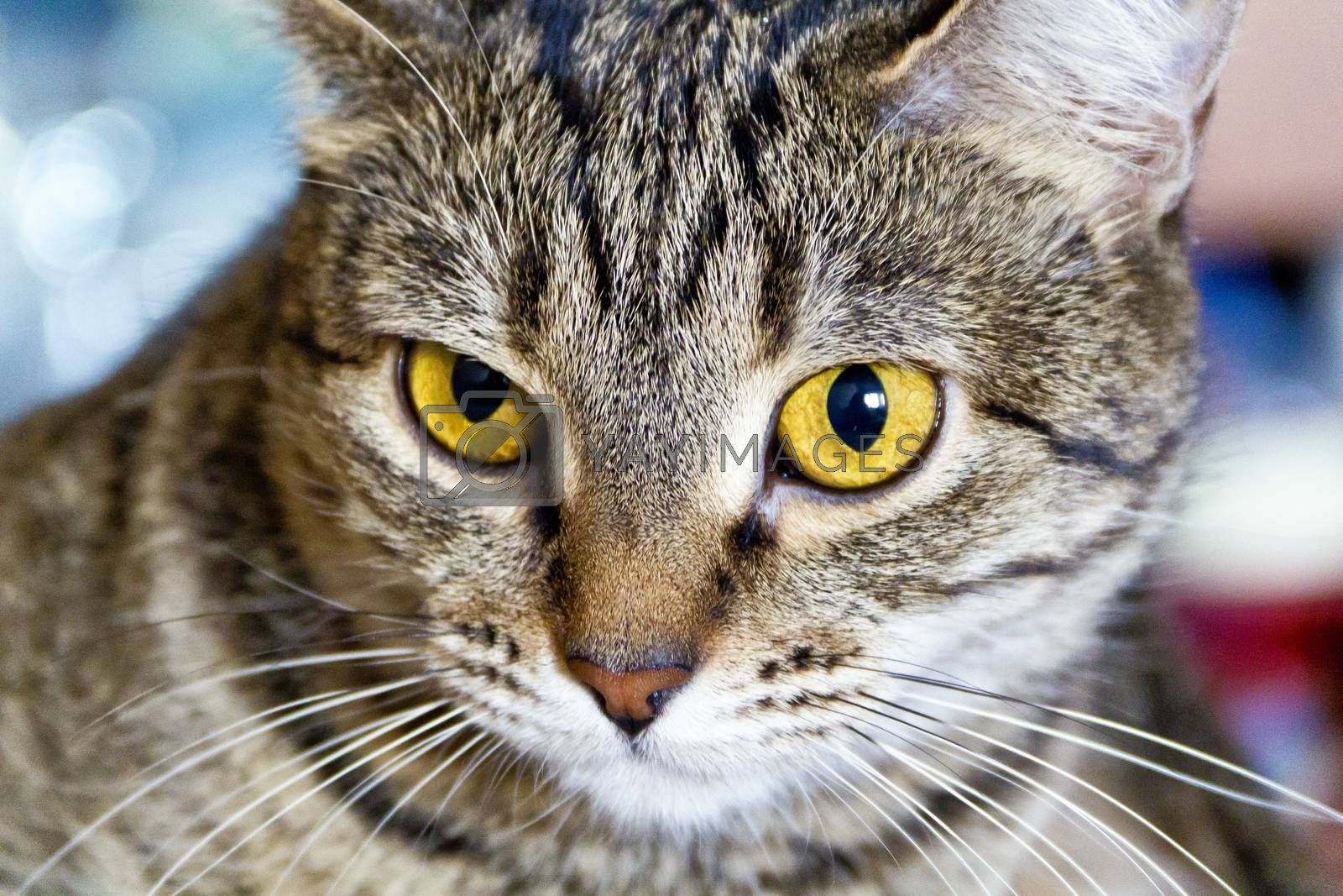 Serious domestic tiger cat with yellow eyes