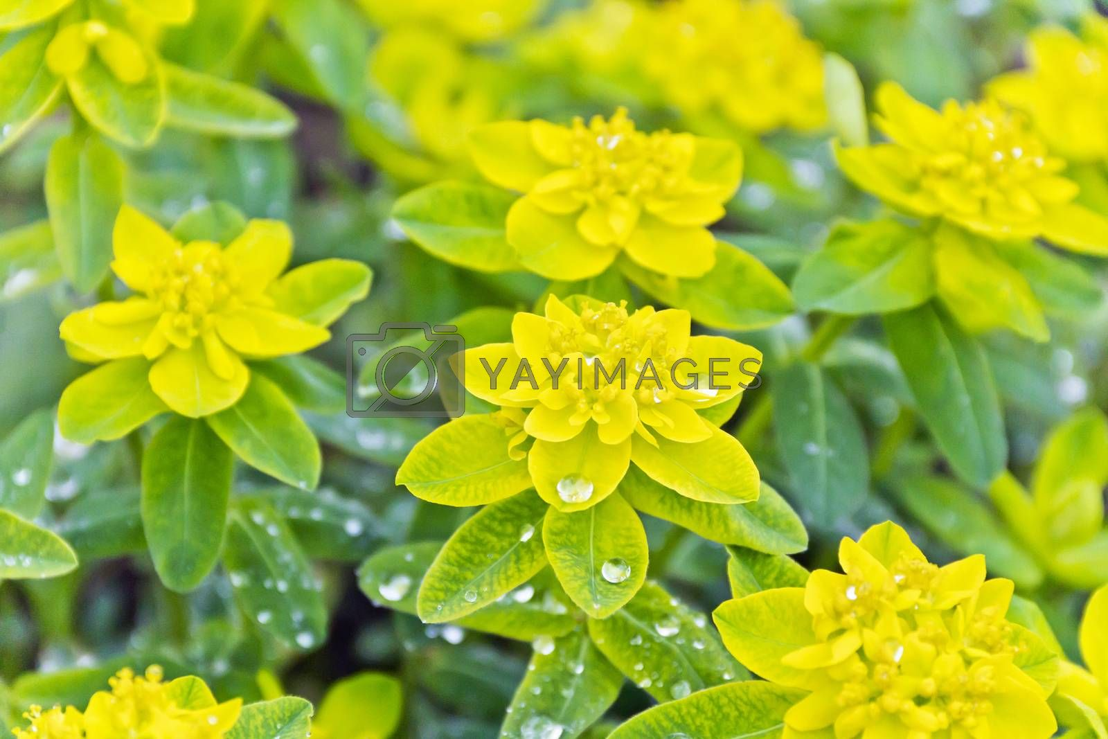 Yellow flowers on green background in summer time
