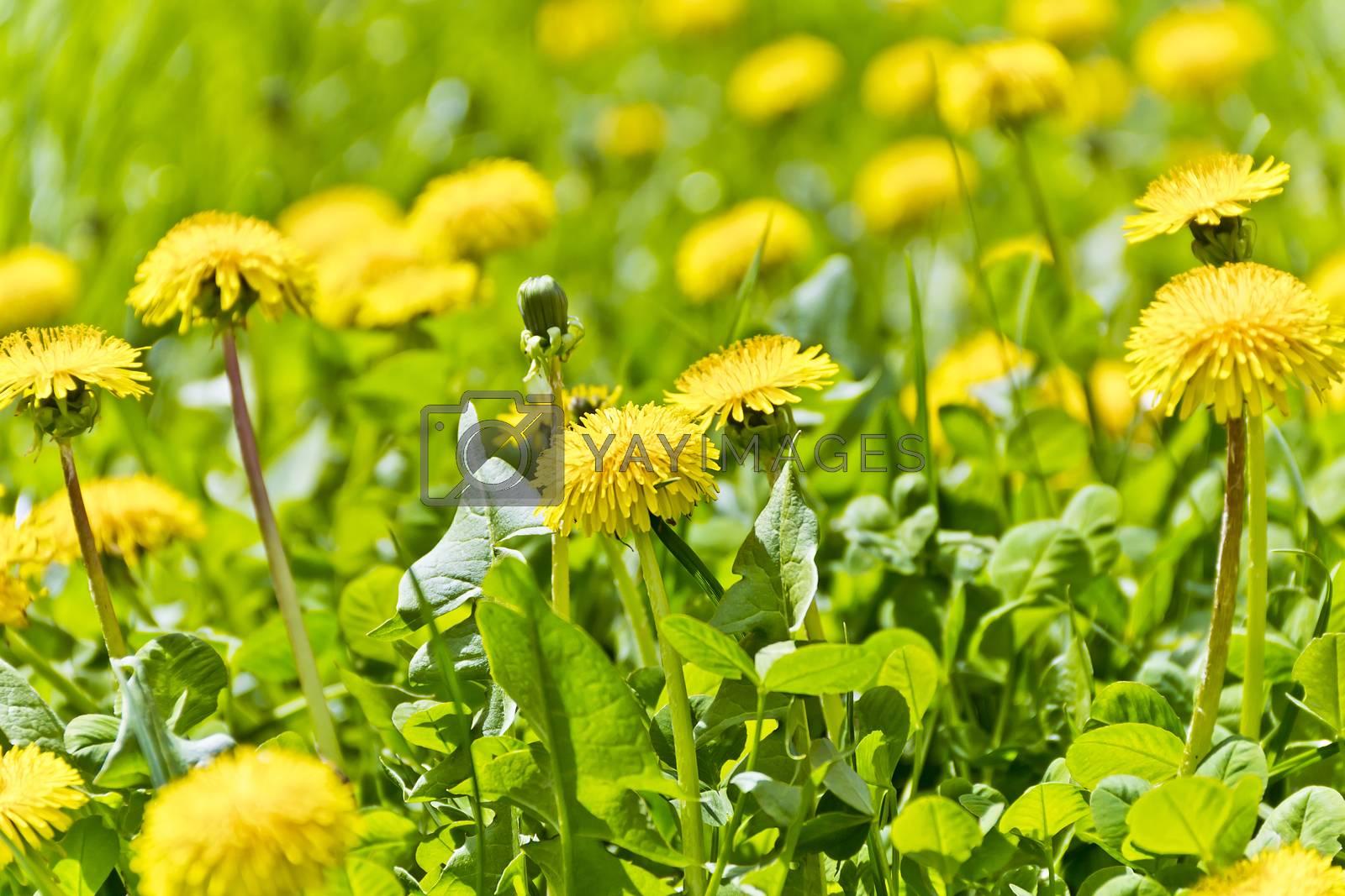 Summer meadow in sun light with yelow dandelions