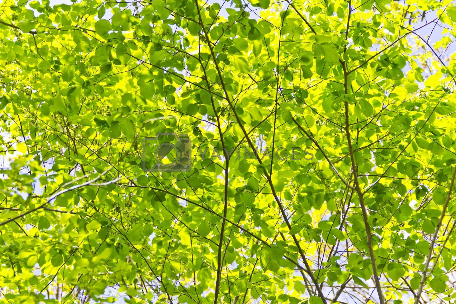 Green foliage with sun light in summer day