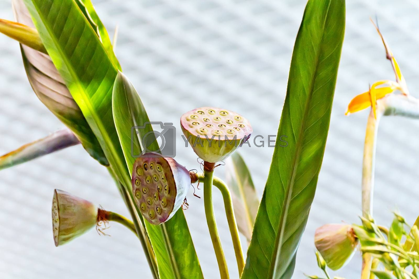 Photo calyxes of seed pod of lotus flower