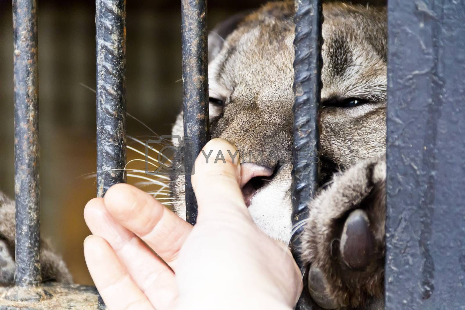 Wild cat in the zoo biting human finger