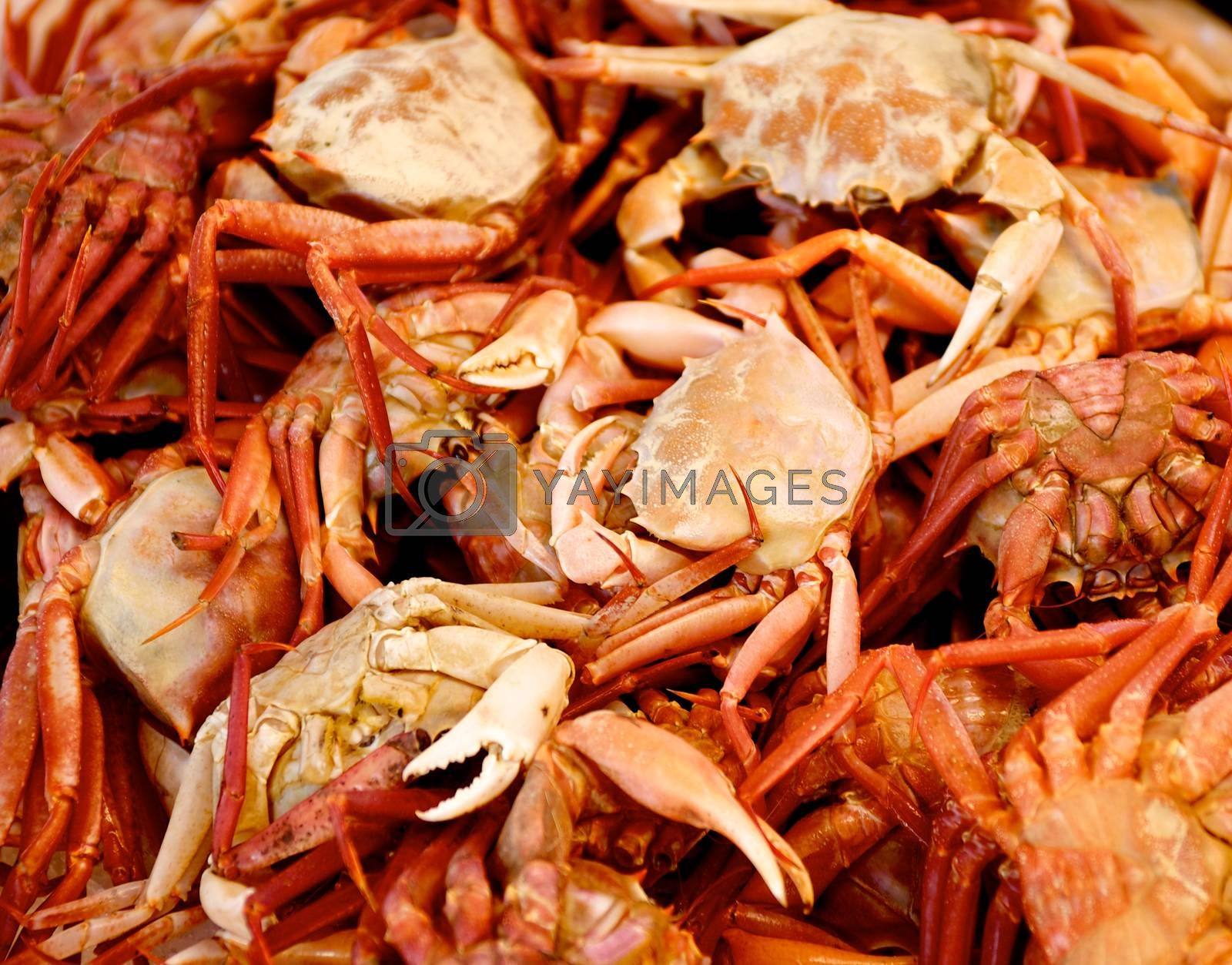 Background of Fresh Raw Mediterranean Red Crab closeup on Seafood Market Outdoors. Selective Focus