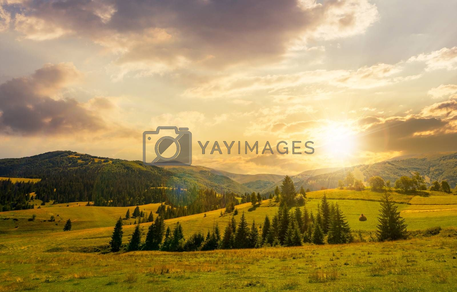 beautiful countryside summer landscape at sunset. spruce trees on a rolling grassy hills at the foot of Borzhava mountain ridge. Fine weather with some clouds on a blue sky