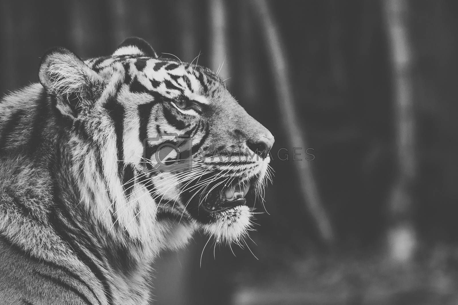 Large Bengal Tiger by itself outdoors during the day time.
