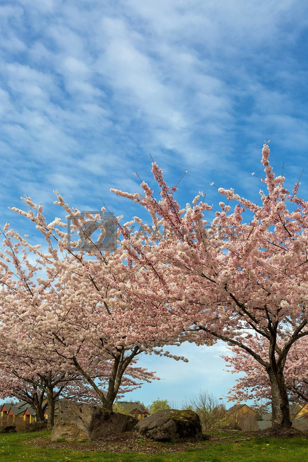 Cherry Blossom trees blooming in Village Green Park in Happy Valley Oregon suburban neighborhood during Spring season