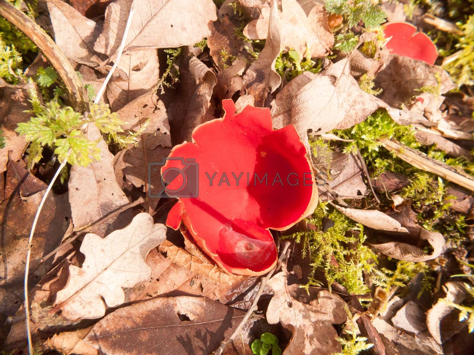 close up of mushroom forest floor scarlet elf cup red; essex; england; uk