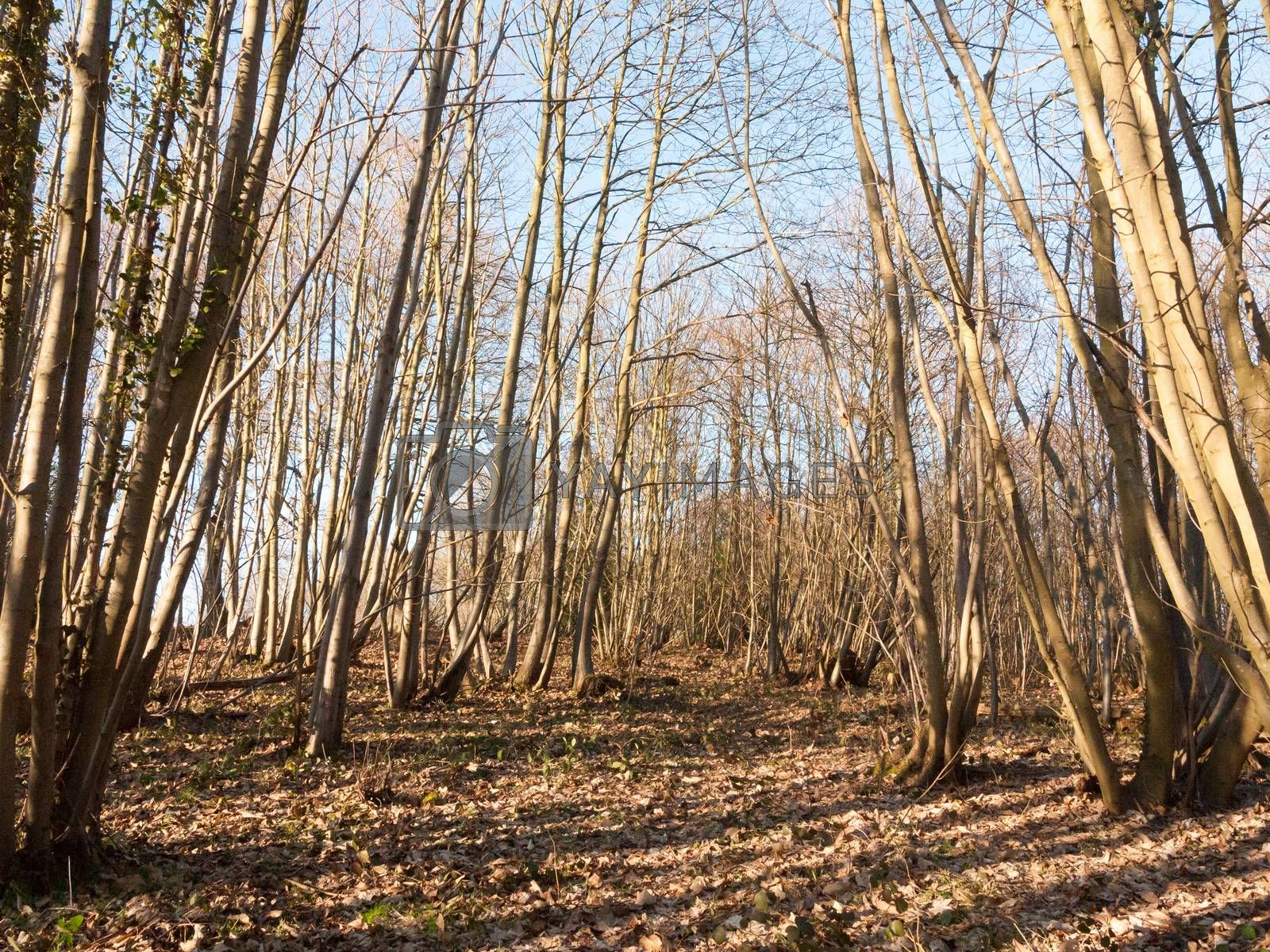 inside wood with many tree bare trunks tall forest woodland by callumrc