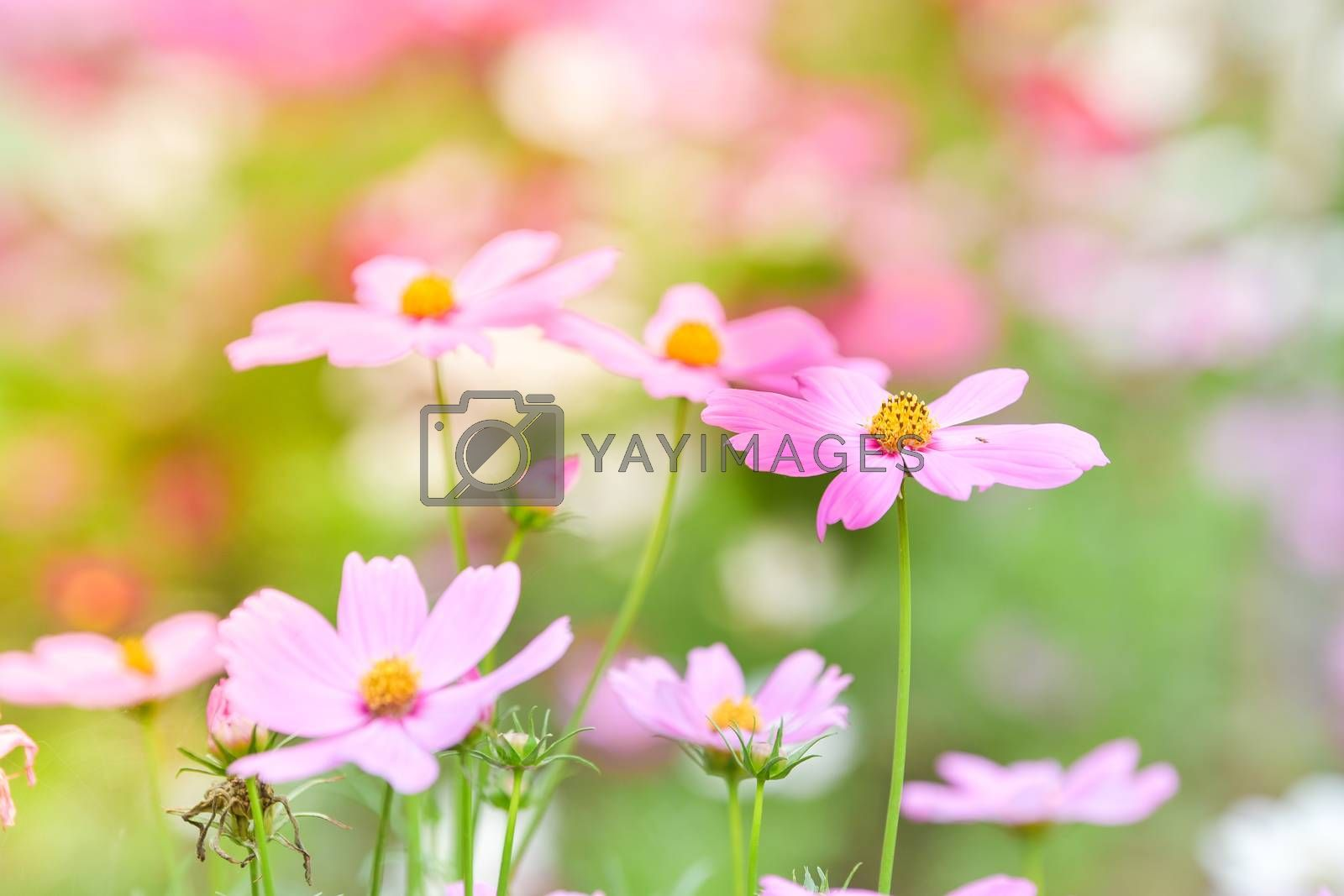 Pink cosmos flower in the wind at cosmos field.