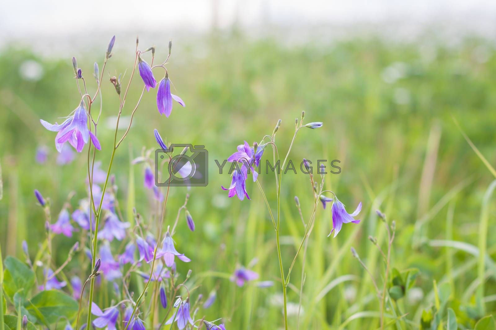 Wild Bluebells field, isolated countryside view, toned