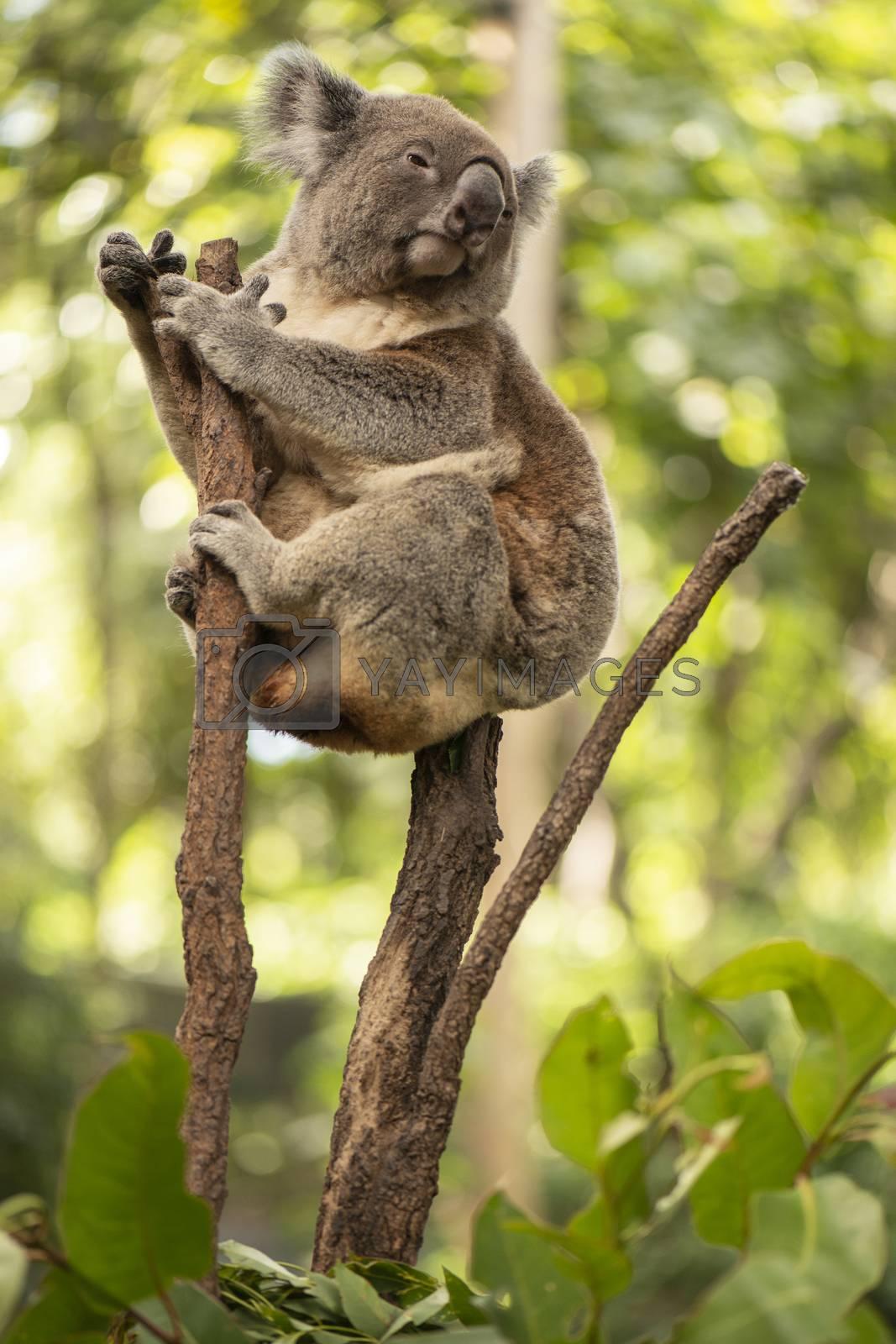 Cute Australian Koala in a tree resting during the day.