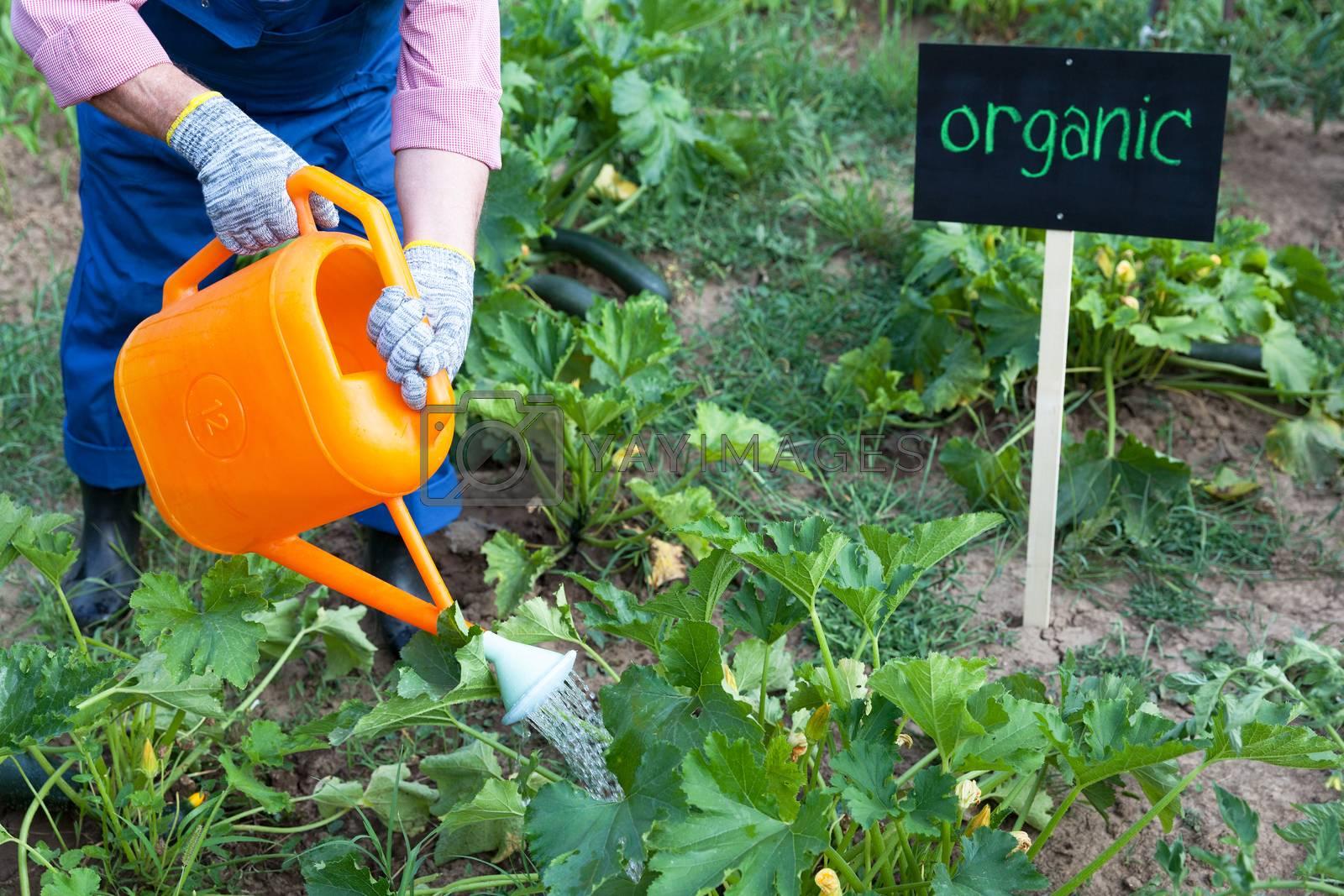 Farmer watering organic vegetable garden