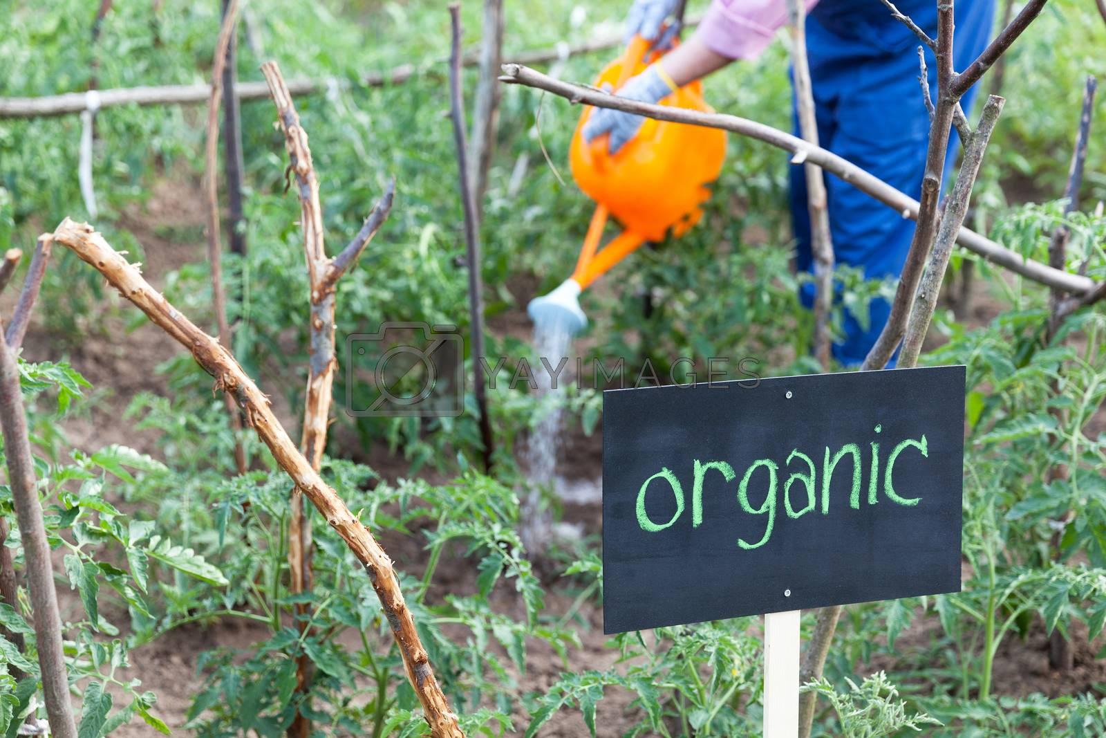Farmer watering organic vegetable garden. Tomato plant.