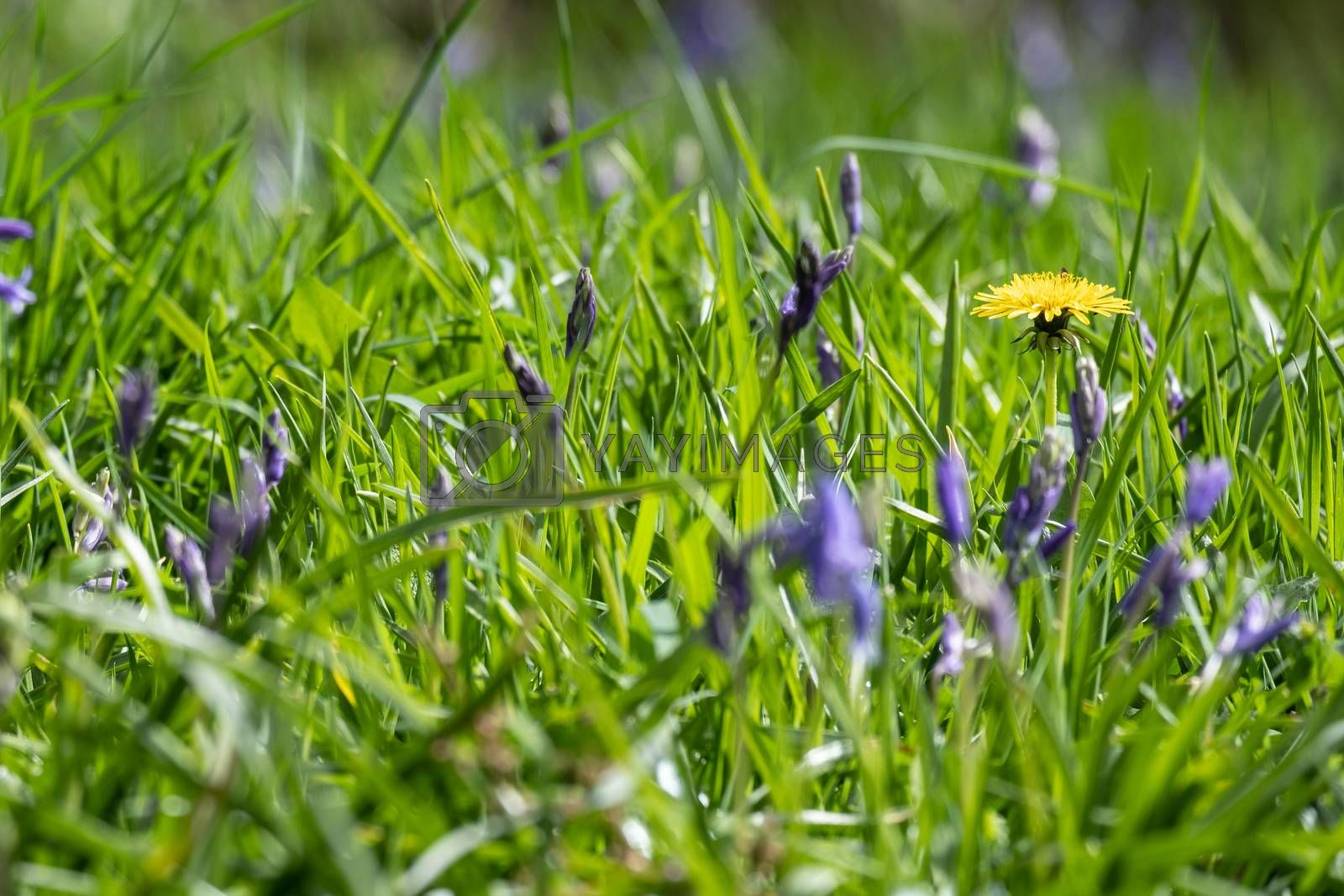 Close up view of bluebells at Beaconwood and the Winsel
