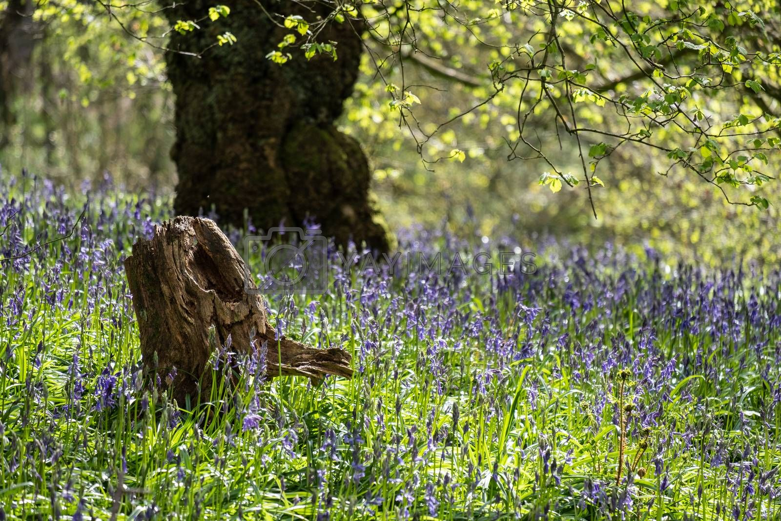 Carpet of bluebells at Beaconwood and the Winsel