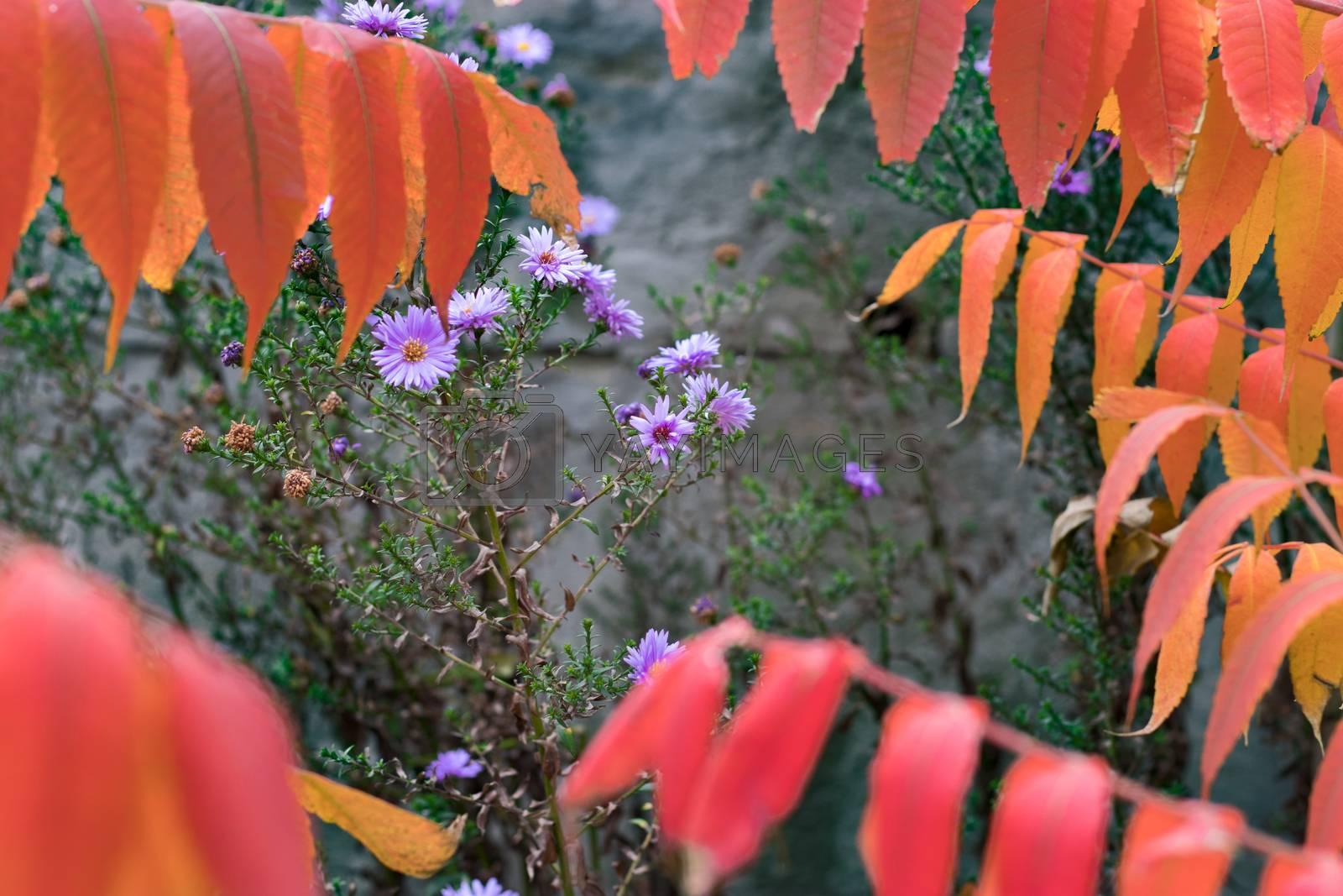 Wild autumn violet flowers behind orange leaves