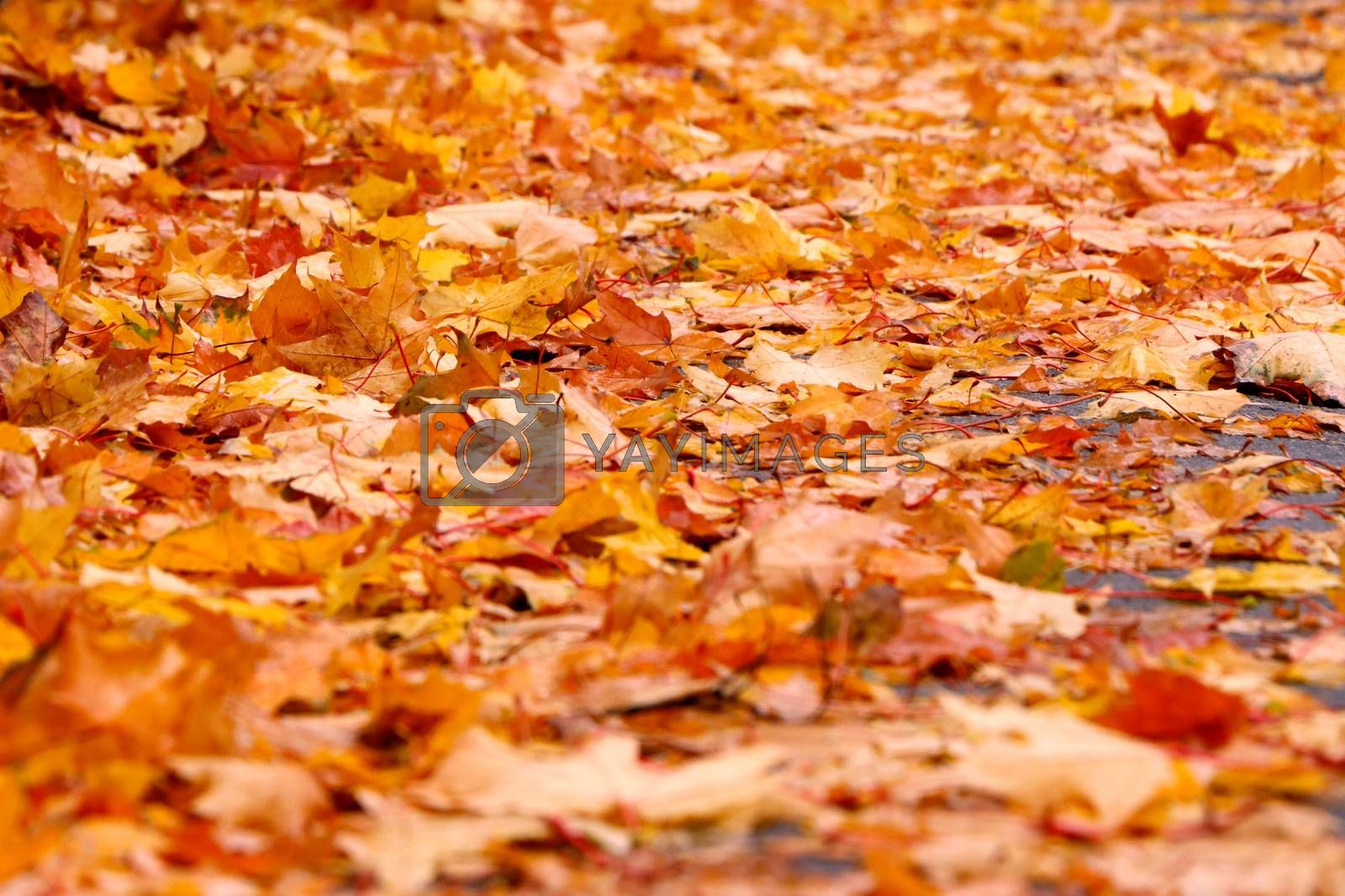 Autumn background from lot of colorful fallen yellow leaves on the ground outdoors, close up view