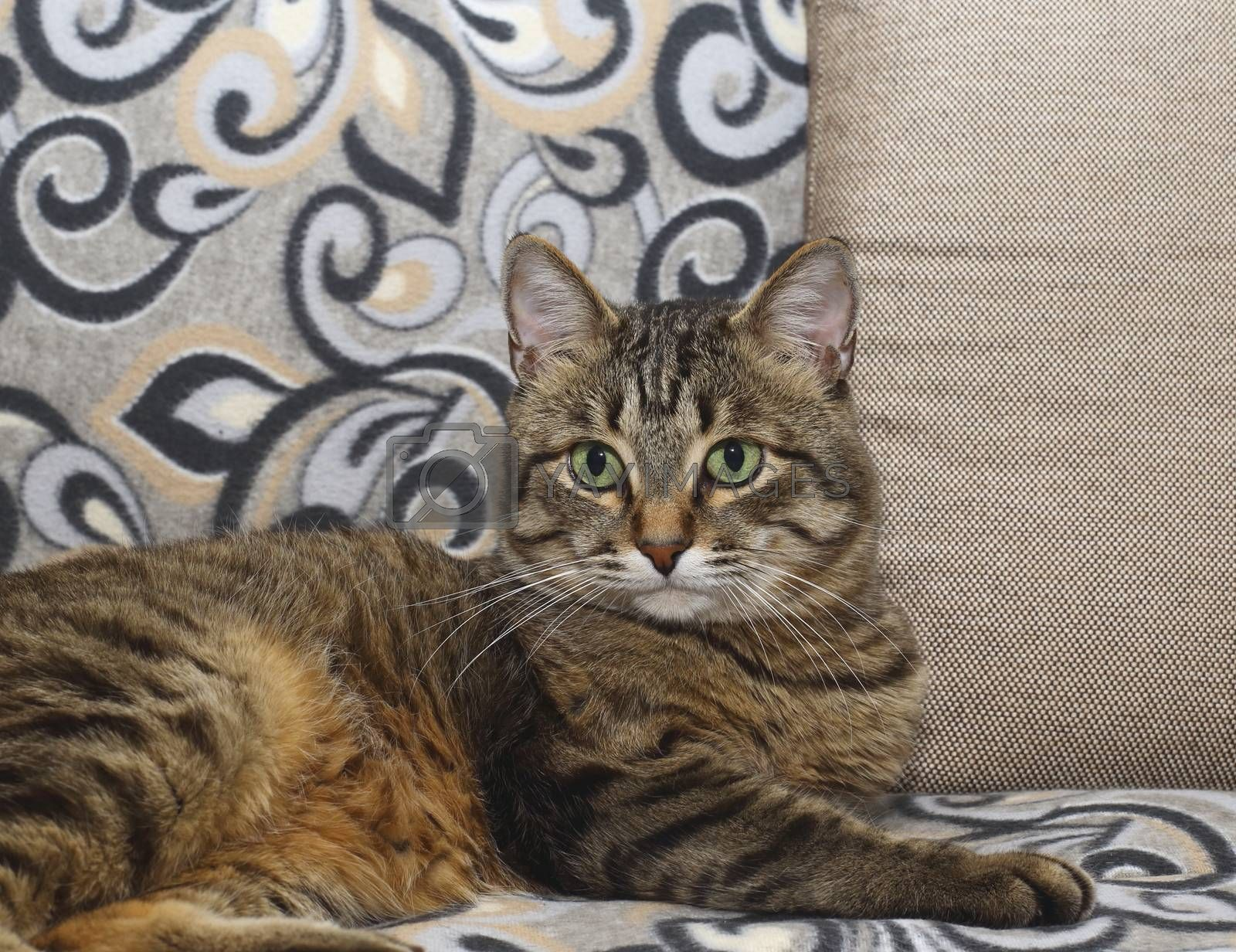 Handsome cat. Fluffy and striped is on the couch in a relaxed pose.