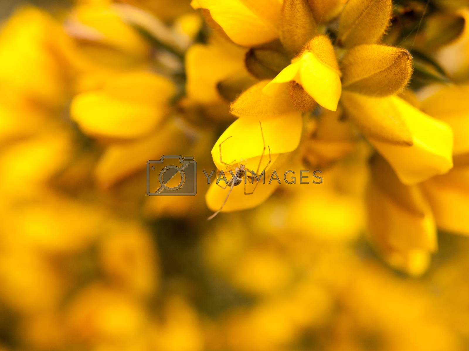 close up detail of yellow gorse broom flower heads macro with spider; essex; england; uk