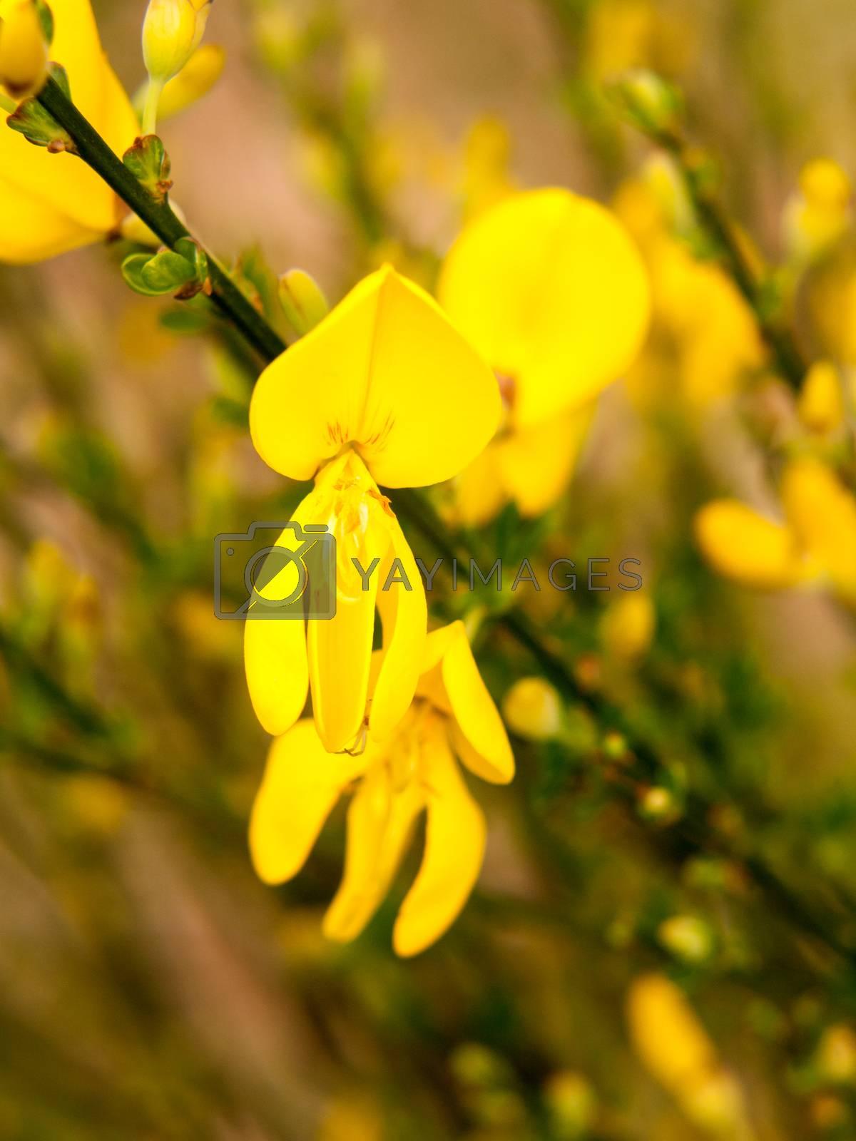 close up detail of yellow gorse broom flower heads macro; essex; england; uk