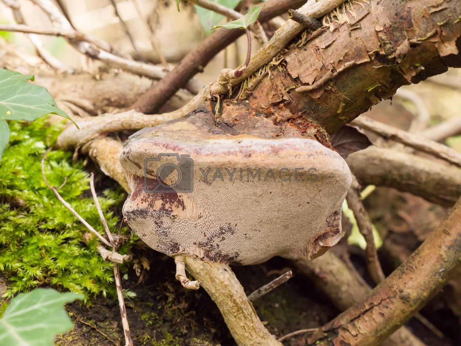 close up bracket mushroom on wood stick branch fungi details; essex; england; uk