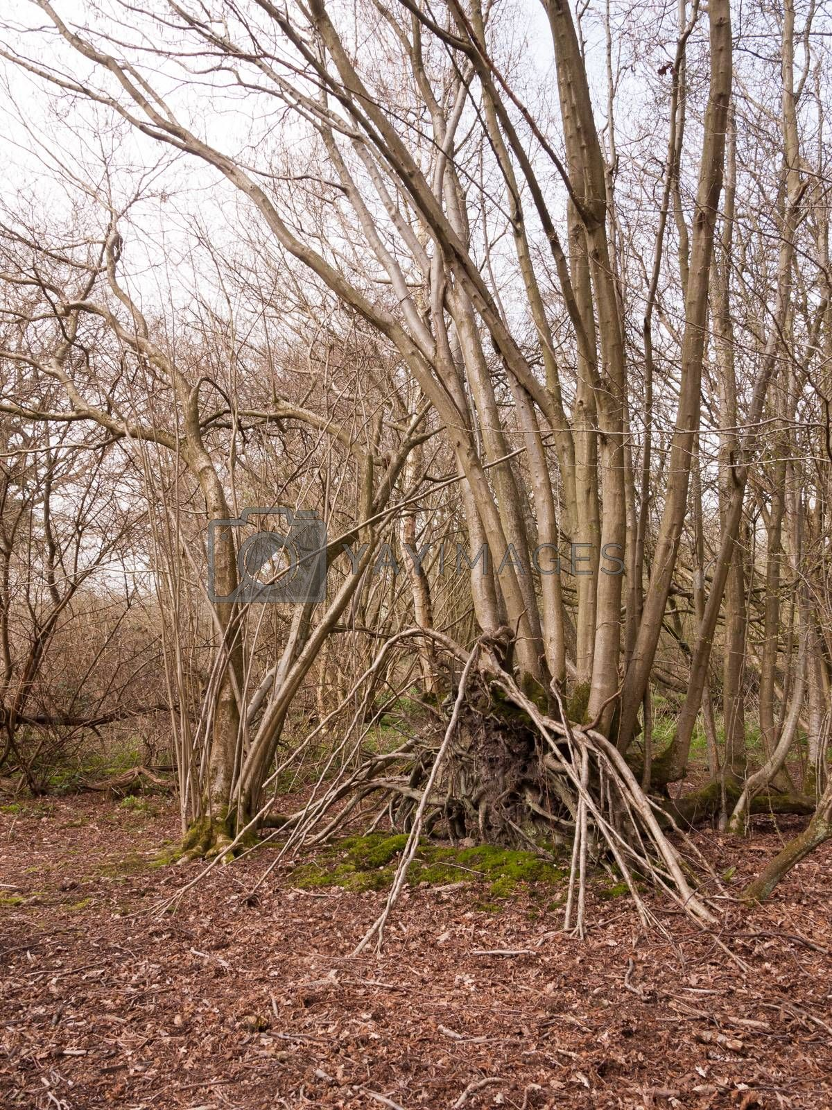 inside forest with branches stacked up against tree trunks; essex; england; uk