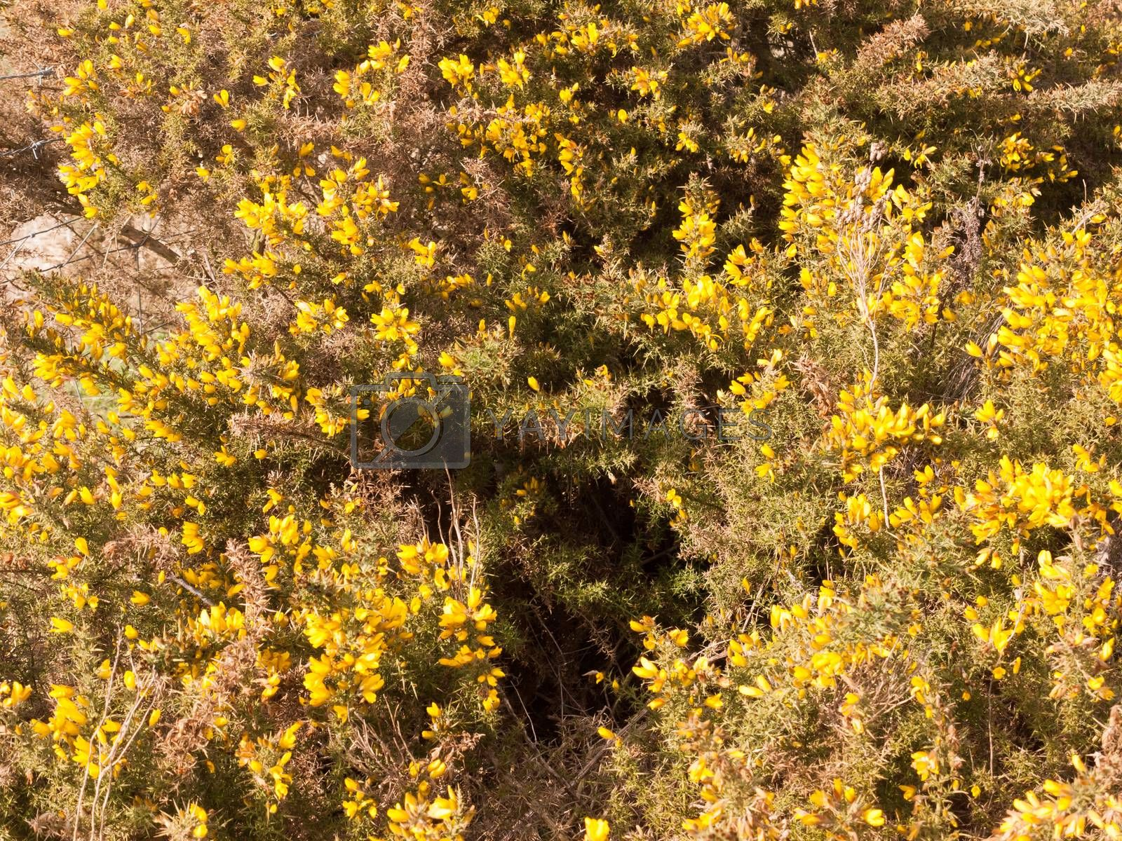 close up yellow gorse flowers broom texture spring bright beautiful by callumrc
