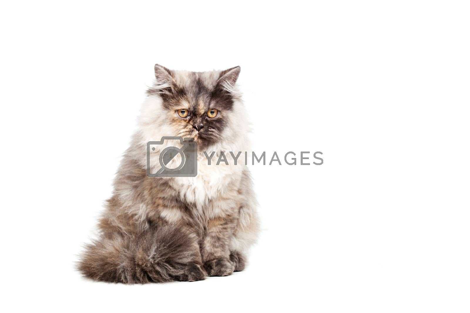 Chinchilla Persian little kitty isolated on white background